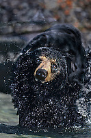 609652078c a wild american black bear ursus americanus shakes off water while standing in a large lake in the northwest territories in canada
