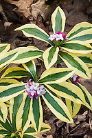 Daphne odora 'Mae-jima' variegated foliage and in flower