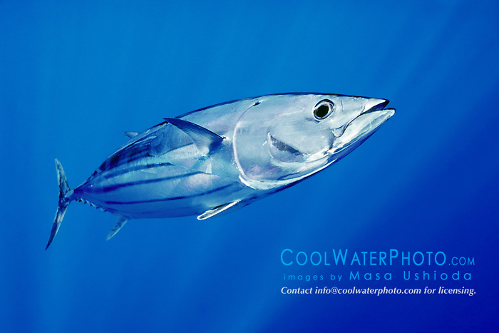 skipjack tuna or aku in Hawaiian, Katsuwonus pelamis, Kona Coast, Big Island, Hawaii, USA, Pacific Ocean