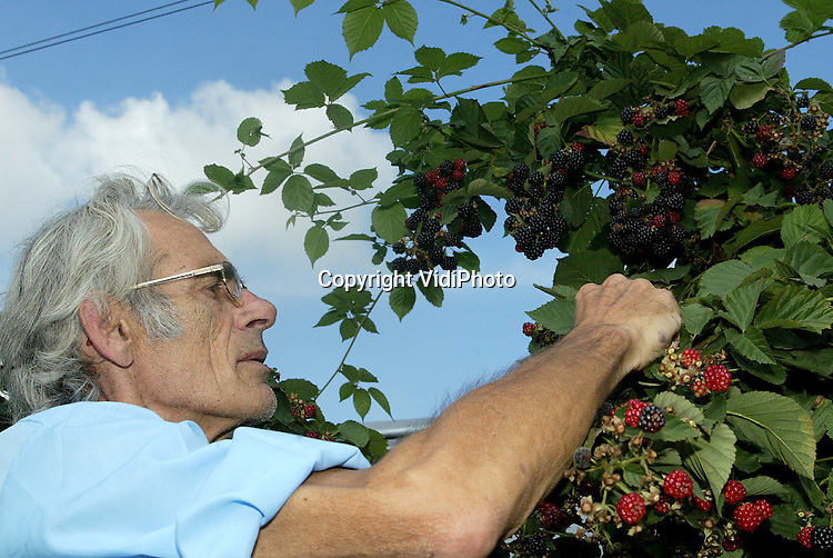 Foto: VidiPhoto..HERVELD - Bij fruitteler Marinus Bunt in Herveld is de bramenoogst in volle gang. Door het droge en warme weer is de oogst minder groot dan vorig jaar, maar zijn de vruchten wel groot en extra sappig. De prijzen op de veiling -en daardoor ook voor de consument- liggen wel een stuk hoger dan andere jaren. Voor een doosje van slechts 125 gram moet rond de 1,50 euro betaald worden. Omgerekend is dat 12 euro per kilo.