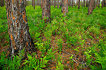 Green Swamp Preserve in spring, Supply, North Carolina