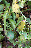Bean anthracnose