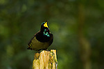 A male Victoria's Riflebird (Ptiloris victoriae) Bird of Paradise on a display perch..Atherton Tablelands, Wooroonooran National Park, Queensland, Australia.