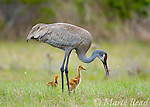 Sandhill Crane (Grus canadensis), Florida race, adult with 2 chicks, Orlando, Florida, USA<br /> (Digitally retouched image - bird at right removed)