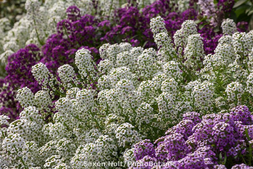 Lobularia 'White Stream' fragrant annual flower