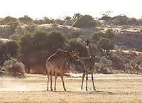 Sparring Giraffes in the Kalahari, South Africa