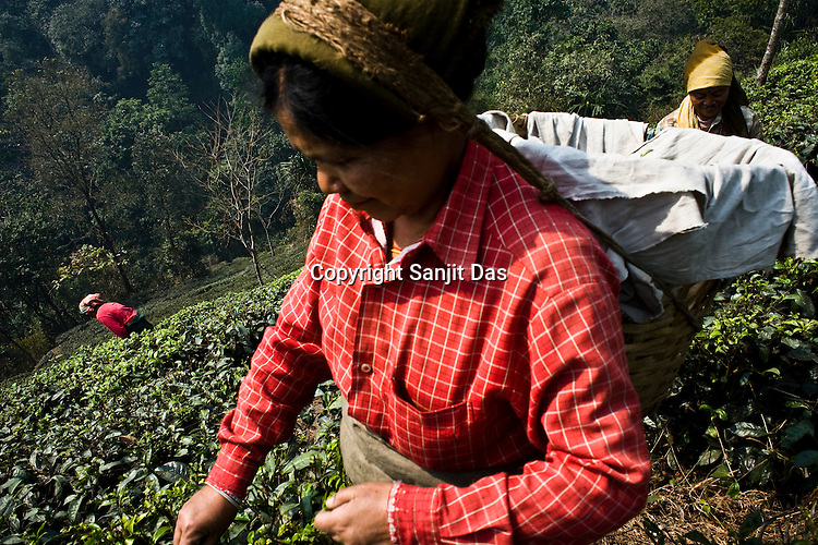 Workers pick first flush tea leaves at the Makaibari Tea estate, in Darjeeling, India.