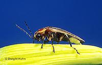 1C24-020z  Firefly - Lightning Bug - Male - Photuris spp.
