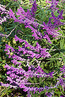 Salvia leucantha in autumn flower, Mexican bush sage plant