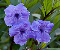 Purple triplet flowers, Tropical flowers, Miami nature<br />