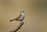 598030021 a wild bewick's wren thryomanes bewickii sings or vocalizes while perched on a twig in kern county california united states