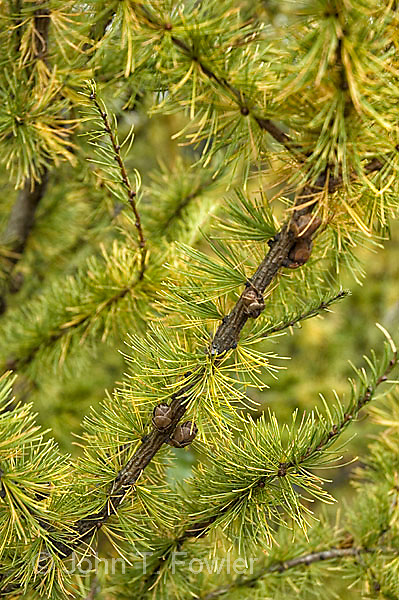 Frond of Tamarack trees, Eastern Larch in early autumn