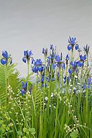 Blue Iris Flowers amid green leaves, ferns, white background