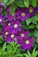 Clematis The Vagabond climbing vine purple with red stripes, yellow anthers