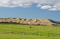Sheep grazing on farmland , near Omakau, Central Otago, South Island, New Zealand - stock photo, canvas, fine art print