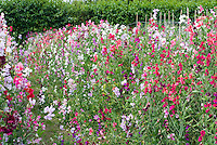 Sweetpeas Lathyrus odoratus 'Old Fashioned Mixed' in mass growing, variety of colors, vines climbing in garden use