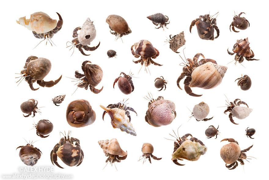 Ecuador Hermit Crab / Pacific Hermit Crab {Coenobita compressus} photographed on a white background inmobile field studio. Corcovado National Park, Osa Peninsula, Costa Rica, May. Digital composite image, all hermit crabs photographed individually.