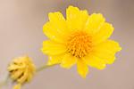 Death Valley National Park, California; Desert Gold (Geraea canescens) flower detail