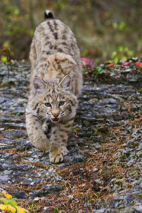 Young Bobcat walking down a rocky hill - CA