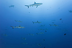Toau Atoll, Tuamotu Archipelago, French Polynesia; numerous gray reef sharks swimming in the current along the edge of a coral reef wall, form a wall of sharks