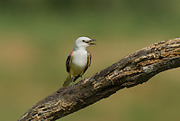 530160024 a wild scissor-tail flycatcher tyrannus forficatus calls from its perch on a mesquite tree branch on laguna seca ranch in the rio grande valley of south texas
