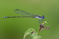 338450001 a wild male dusky dancer damselfly argia translata perches on a small plant near the guadalupe river in gonzales county texas
