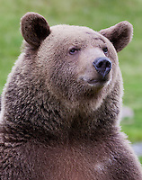 Grizzly Bear portrait - CA