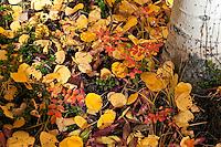 Yellow Aspen Leaves