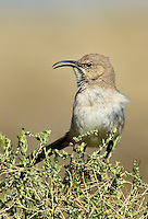 581970021 a wild lecontes thrasher toxostoma lecontei sings white perched on a desert plant in kern county california united states