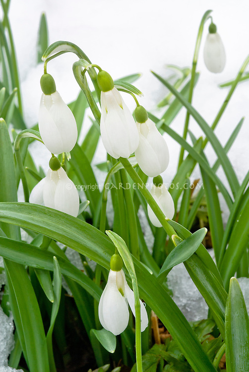 Galanthus 'Comet' snowdrops in winter snow flower