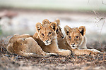 Lion cubs, Panthera leo, Kgalagadi Transfrontier Park, Northern Cape, South Africa