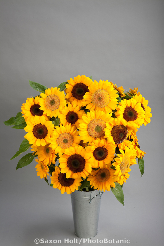 Bucket of Sunflowers 'Vincent', Helianthus annuus on gray silhouette background; yellow flower annual cut flowr