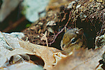 Eastern Chipmunk, Great Smoky Mountains National Park