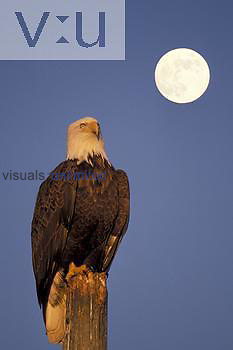 Adult Bald Eagle (Haliaeetus leucocephalus) and the moon.