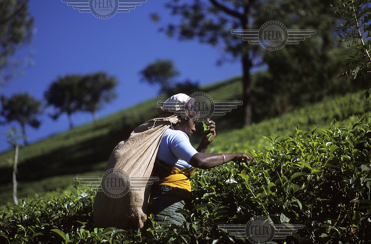 Tea picking in the plantations near Kandy.