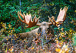 Moose, Alces alces, Denali National Park, Alaska