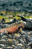 Marine iguana are the world's only sea lizards and are found only in the Galápagos Islands. Growing to nearly one meter, males feed on algae and are strong swimmers who can dive to a depth of 10m, and stay submerged for almost an hour. .