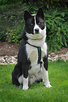 Karelian Bear Dog is a Finnish or Karelian breed of dog. In its home country it is regarded as a national treasure. In Finland they are more often used for hunting moose and elk although they will hunt any kind of animal. Bear and moose tests are conducted in Finland, Sweden and Norway to determine an individual's ability as a beardog and weighs heavily in the dogs breeding potential. This dog will put a bear to flight or attack it with great pugnacity and will sacrifice its own life for its master. Its quick reflexes and fearless nature have also made it very popular for hunting other aggressive game such as the wild boar. It was the breed's ability to hunt and offer protection against a bear that earned the breed its name.