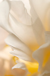 close-up of a white peony flower