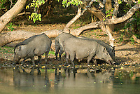 A sounder of wild pigs (sows) feeding in the mud at the edge of a water-hole Yala National Park.