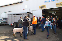 Lambs are unloaded to students outside a barn of the Northwest Junior Livestock Show at the Washington State Spring Fair in Puyallup, Wash. on April 19, 2015.  (photo © Karen Ducey Photography)
