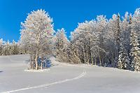 Frosty winter trees along hillside near Fairbanks, Alaska