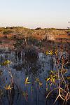 Mangroves at sunset in Everglades National Park, Florida, USA