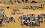 Grant's zebras and wildebeests graze in the Masai Mara National Reserve, Kenya