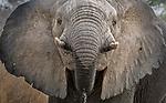 Central Africa , African bush elephant (Loxodonta africana)