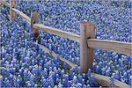 This Bluebonnet image is another in the series of shots I made of a bluebonnet field surrounding an old wooden fence out in the Texas Hill Country. I'll keep coming back to this spot for years.