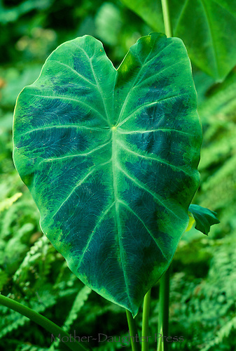 Large Colocasia antiquorum 'Illustris'  Elephant ear or Taro leaf in shade garden, USA