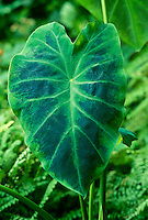 Large Colocasia antiquorum 'Illustris'  Elephant ear or Taro leaf in shade garden, USA