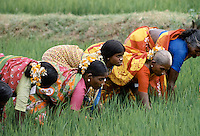 Group of Indian women wearing traditional saree working in rice paddy fields in India