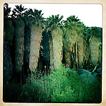 Palm oasis in the Anza-Borrego Desert, California, USA.